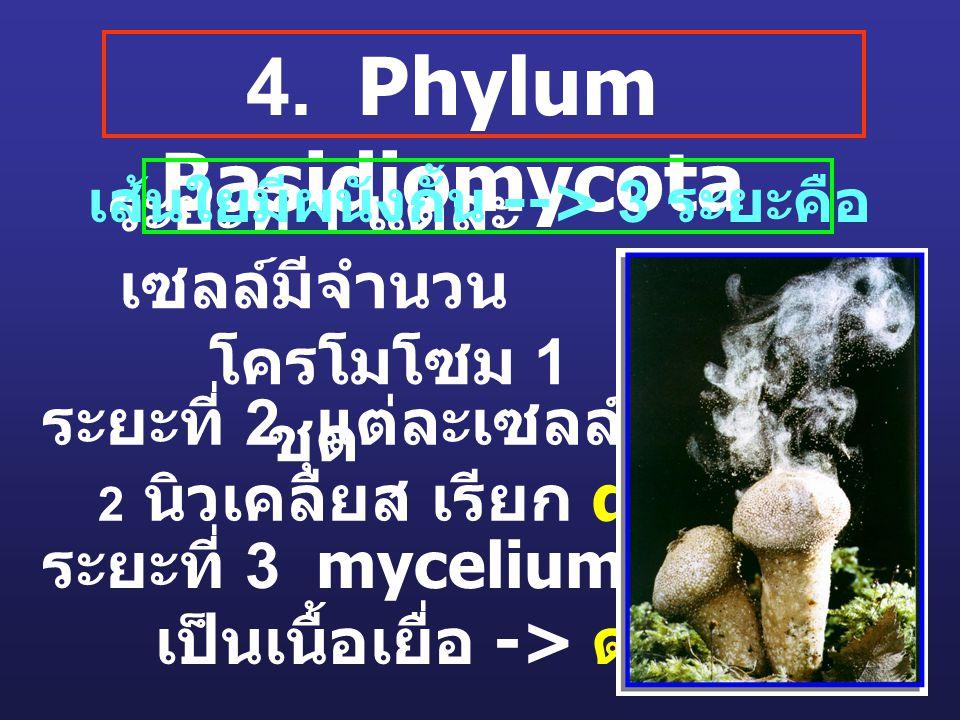 4. Phylum Basidiomycota ระยะที่ 1 แต่ละ เซลล์มีจำนวน โครโมโซม 1 ชุด ระยะที่ 2 แต่ละเซลล์มี 2 นิวเคลียส เรียก dikaryon ระยะที่ 3 mycelium มารวม เป็นเนื