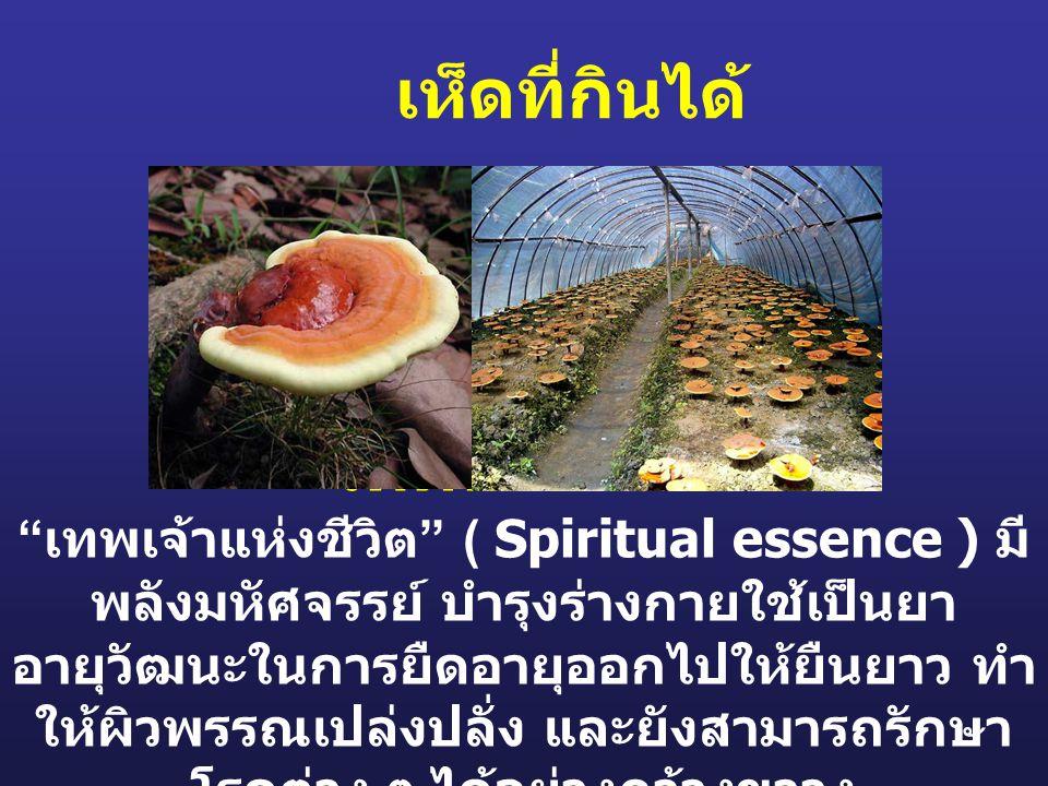 """เห็ดที่กินได้ เห็ดหลินเจือ """" เทพเจ้าแห่งชีวิต """" ( Spiritual essence ) มี พลังมหัศจรรย์ บำรุงร่างกายใช้เป็นยา อายุวัฒนะในการยืดอายุออกไปให้ยืนยาว ทำ ให"""