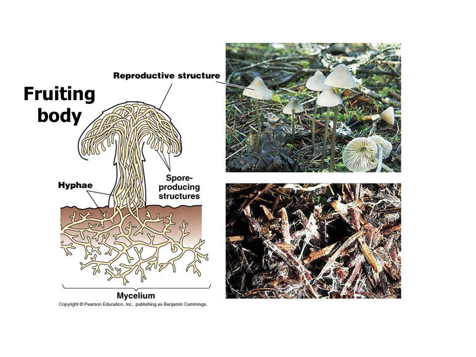 รา + สาหร่าย : แบบพึ่งพาอาศัย มี 3 แบบ :- 1.ครัสโตสไลเคนส์ (Crustose Lichen) 2.