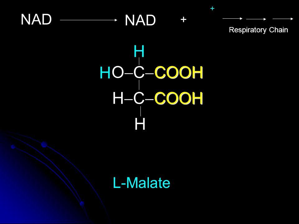 COOH C  COOH COOH H  C  COOH OO L-Malate H H H NAD + Respiratory Chain +