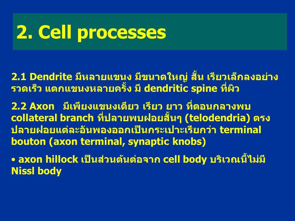 2. Cell processes 2.1 Dendrite มีหลายแขนง มีขนาดใหญ่ สั้น เรียวเล็กลงอย่าง รวดเร็ว แตกแขนงหลายครั้ง มี dendritic spine ที่ผิว 2.2 Axon มีเพียงแขนงเดีย