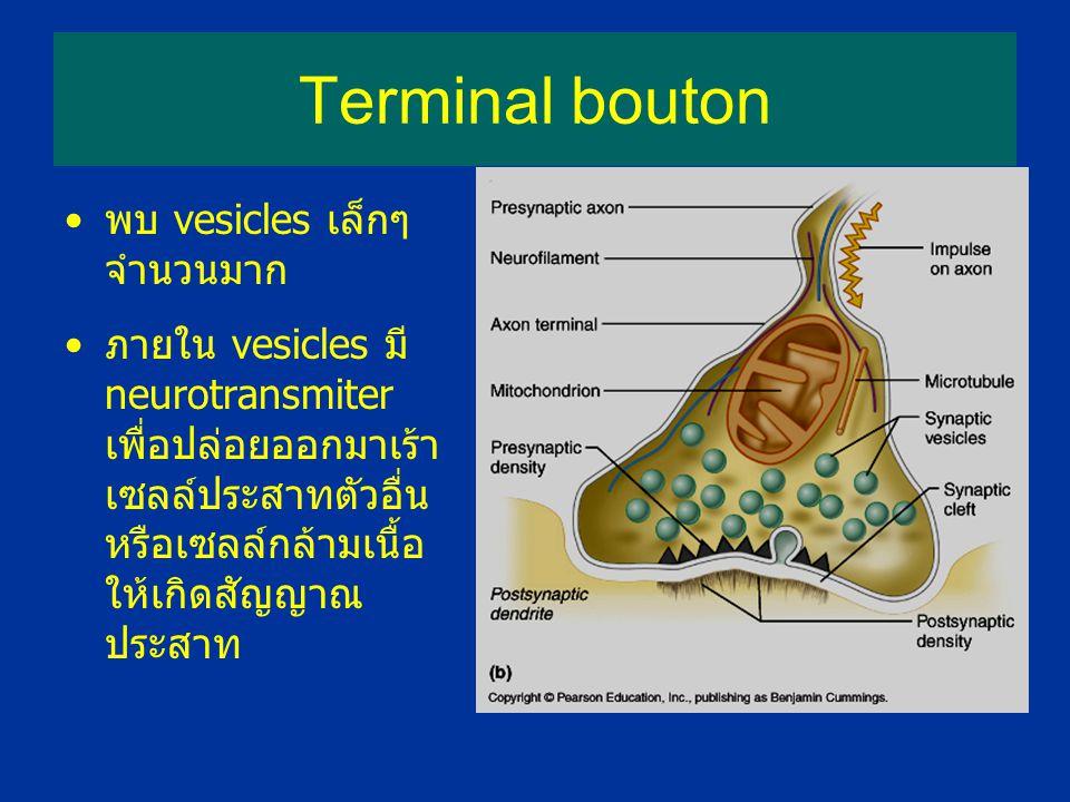 Terminal bouton พบ vesicles เล็กๆ จำนวนมาก ภายใน vesicles มี neurotransmiter เพื่อปล่อยออกมาเร้า เซลล์ประสาทตัวอื่น หรือเซลล์กล้ามเนื้อ ให้เกิดสัญญาณ