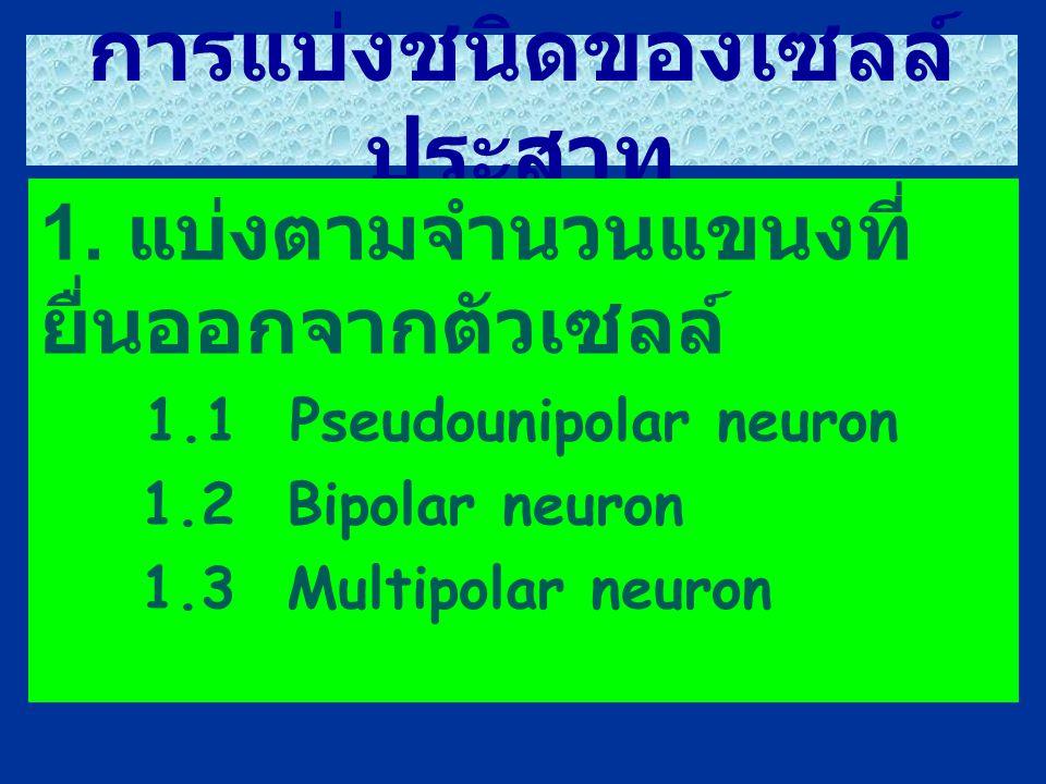 การแบ่งชนิดของเซลล์ ประสาท 1. แบ่งตามจำนวนแขนงที่ ยื่นออกจากตัวเซลล์ 1.1 Pseudounipolar neuron 1.2 Bipolar neuron 1.3 Multipolar neuron