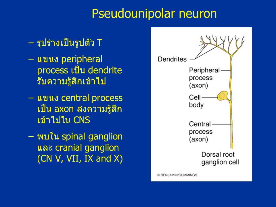 –รุปร่างเป็นรูปตัว T –แขนง peripheral process เป็น dendrite รับความรู้สึกเข้าไป –แขนง central process เป็น axon ส่งความรู้สึก เข้าไปใน CNS –พบใน spina