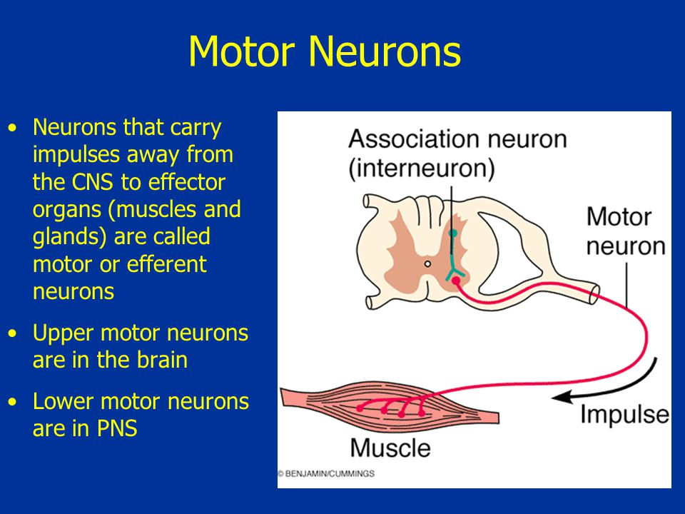 Motor neurons are multipolar and their cell bodies are located in the CNS (except autonomic) Motor neurons form junctions with effector cells, signaling muscle to contract or glands to secrete