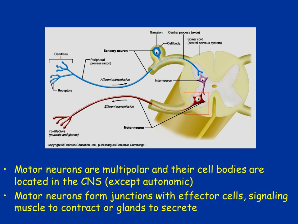 Interneuron or Association Neuron These neurons lie between the motor and sensory neurons These neurons are found in pathways where integration occurs Confined to CNS Make up 99% of the neurons of the body and are the principle neuron of the CNS