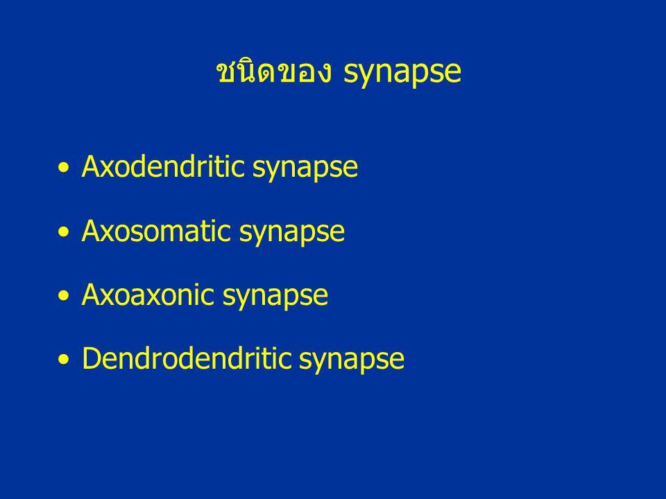 ชนิดของ synapse Axodendritic synapse Axosomatic synapse Axoaxonic synapse Dendrodendritic synapse