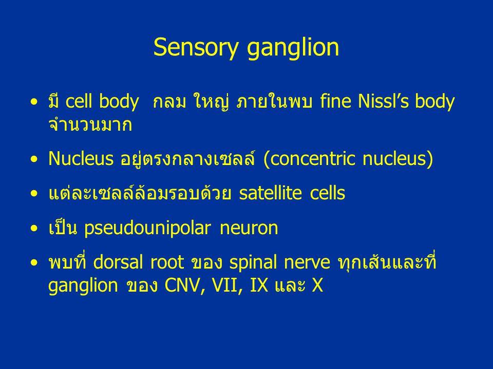Sensory ganglion มี cell body กลม ใหญ่ ภายในพบ fine Nissl's body จำนวนมาก Nucleus อยู่ตรงกลางเซลล์ (concentric nucleus) แต่ละเซลล์ล้อมรอบด้วย satellit