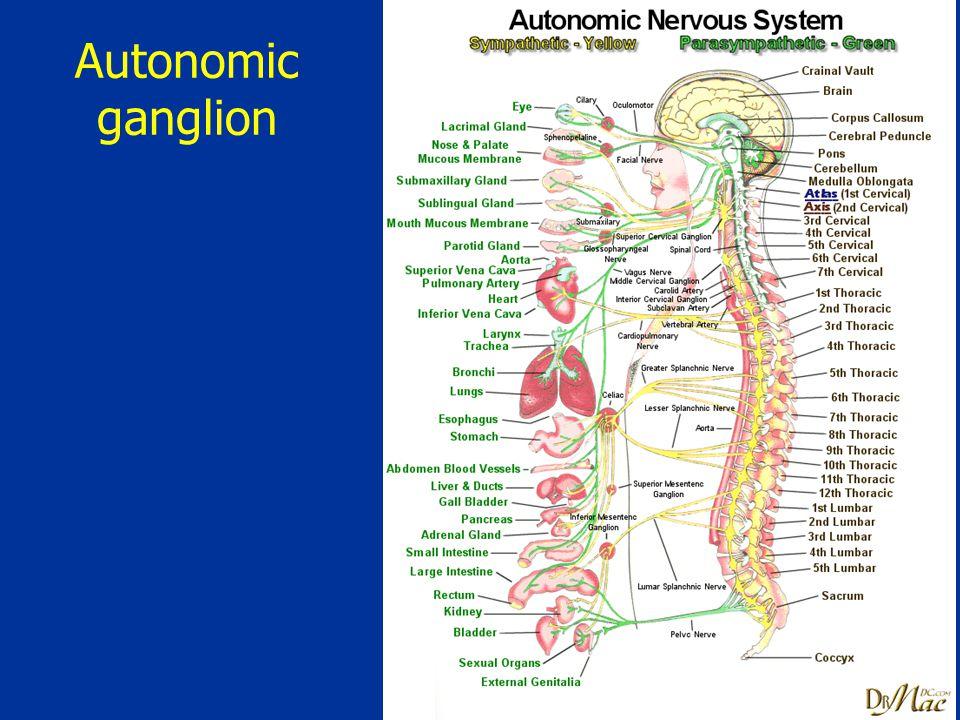 Autonomic ganglion