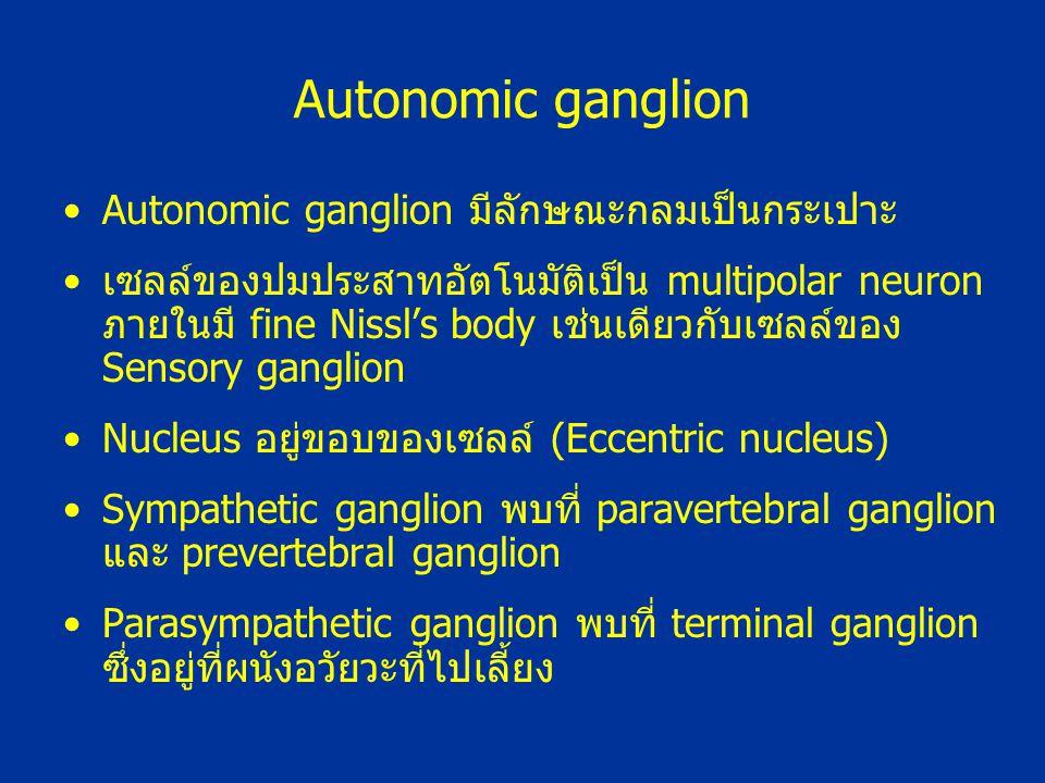 Autonomic ganglion มีลักษณะกลมเป็นกระเปาะ เซลล์ของปมประสาทอัตโนมัติเป็น multipolar neuron ภายในมี fine Nissl's body เช่นเดียวกับเซลล์ของ Sensory gangl