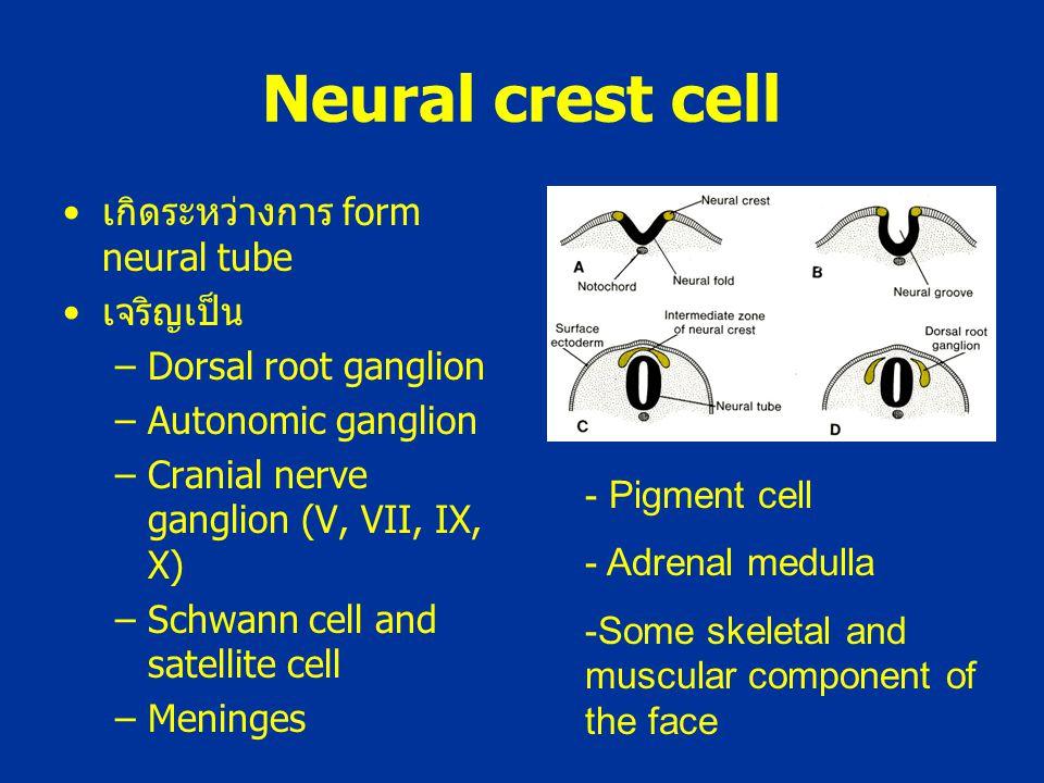 Neural crest cell เกิดระหว่างการ form neural tube เจริญเป็น –Dorsal root ganglion –Autonomic ganglion –Cranial nerve ganglion (V, VII, IX, X) –Schwann