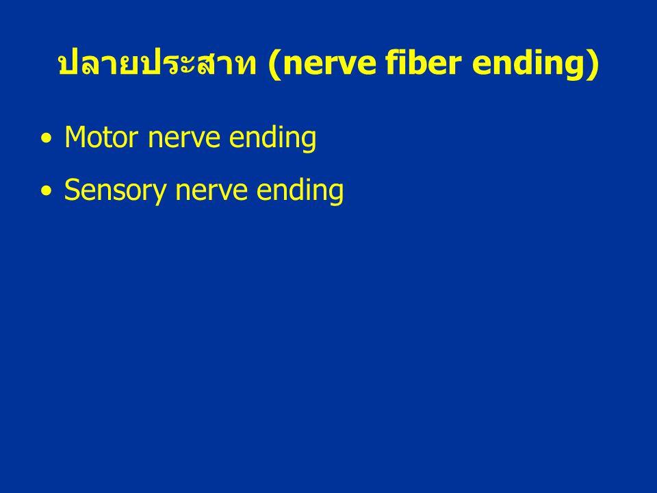 ปลายประสาท (nerve fiber ending) Motor nerve ending Sensory nerve ending