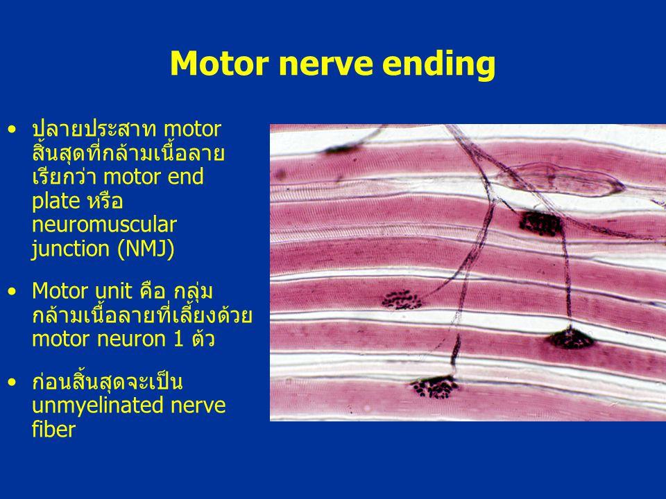 Motor nerve ending ปลายประสาท motor สิ้นสุดที่กล้ามเนื้อลาย เรียกว่า motor end plate หรือ neuromuscular junction (NMJ) Motor unit คือ กลุ่ม กล้ามเนื้อ