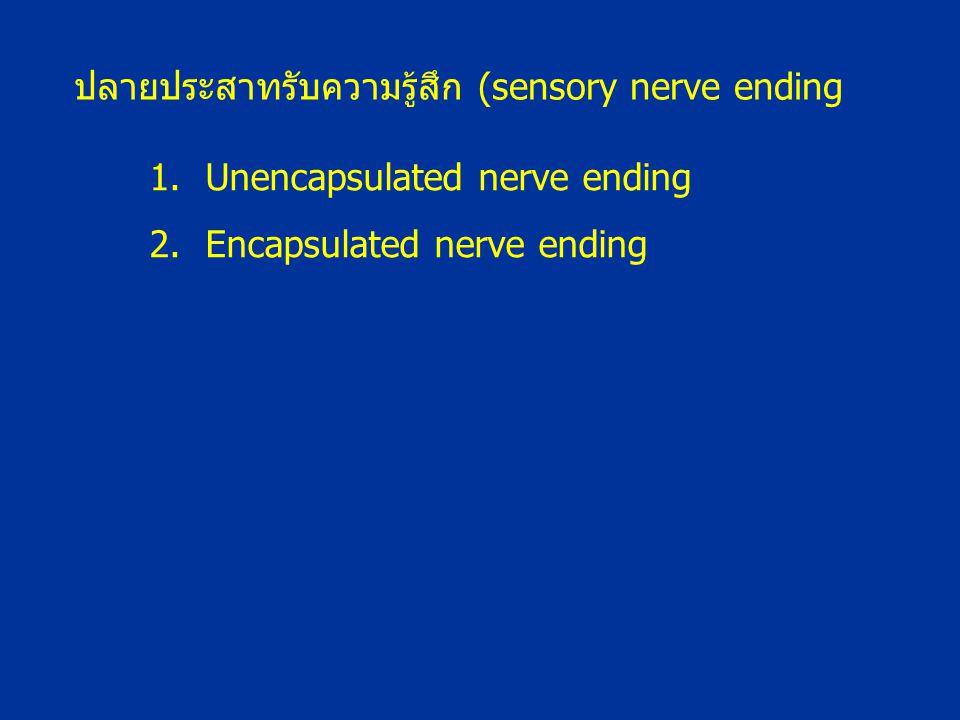 1.Unencapsulated nerve ending 2.Encapsulated nerve ending ปลายประสาทรับความรู้สึก (sensory nerve ending