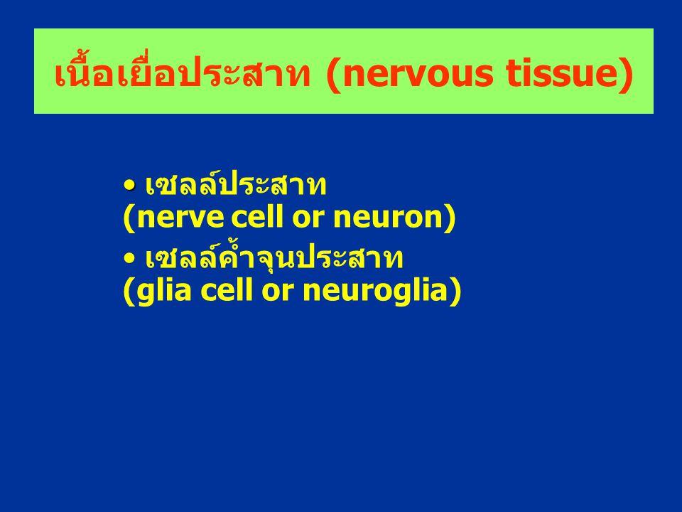 เนื้อเยื่อประสาท (nervous tissue) เซลล์ประสาท (nerve cell or neuron) เซลล์ค้ำจุนประสาท (glia cell or neuroglia)