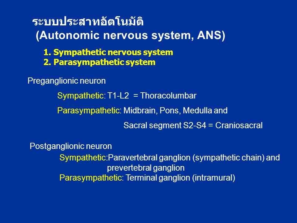 1. Sympathetic nervous system 2. Parasympathetic system ระบบประสาทอัตโนมัติ (Autonomic nervous system, ANS) Preganglionic neuron Sympathetic: T1-L2 =
