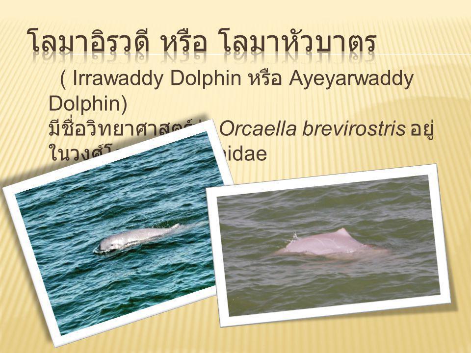 โลมาอิรวดี ( Irrawaddy Dolphin) โลมาหลังโหนก (Humpback Dolphin) โลมาหัวบาตรหลังเรียบ (Finless porpoise) http://www.thai2trip.com/upload/news/thai2tripinpage_copy80.gif