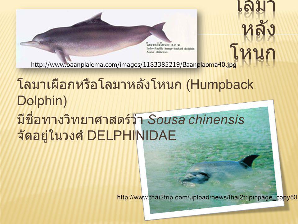 ( Irrawaddy Dolphin หรือ Ayeyarwaddy Dolphin) มีชื่อวิทยาศาสตร์ว่า Orcaella brevirostris อยู่ ในวงศ์โลมา Delphinidae
