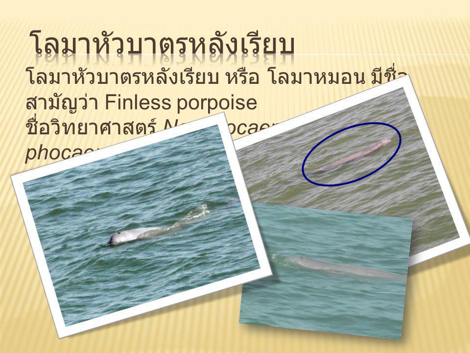 http://www.thai2trip.com/upload/news/thai2tripinpage_copy80.gif โลมาเผือกหรือโลมาหลังโหนก (Humpback Dolphin) มีชื่อทางวิทยาศาสตร์ว่า Sousa chinensis จัดอยู่ในวงศ์ DELPHINIDAE http://www.baanplaloma.com/images/1183385219/Baanplaoma40.jpg