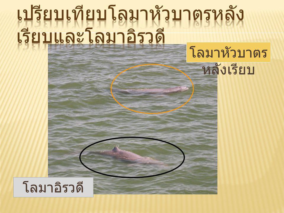 โลมาหัวบาตรหลังเรียบ หรือ โลมาหมอน มีชื่อ สามัญว่า Finless porpoise ชื่อวิทยาศาสตร์ Neophocaena phocaenoides