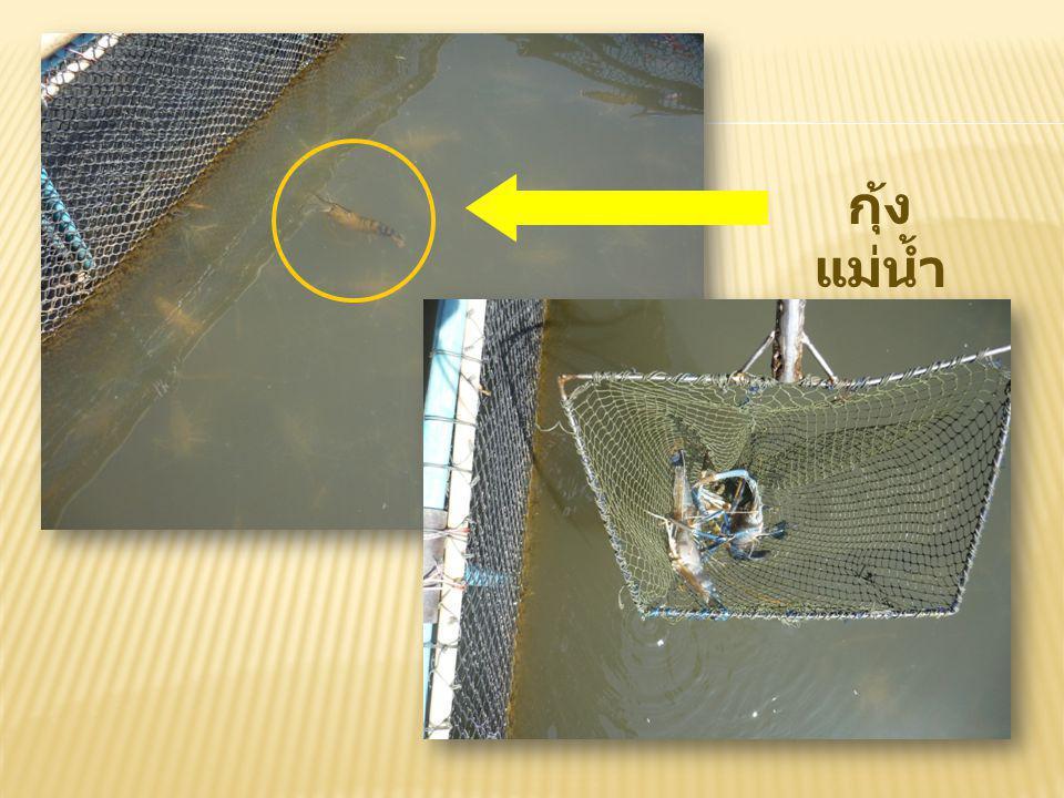 ปลาตีน (Mudskipper) จัดอยู่ในสกุล Periophthalmodon ในวงศ์ปลาบู่ (Gobiidae)