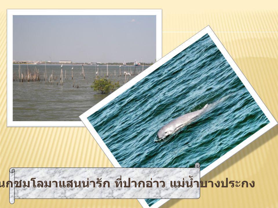 นั่งเรือดูนกชมโลมาแสนน่ารัก ที่ปากอ่าว แม่น้ำบางประกง