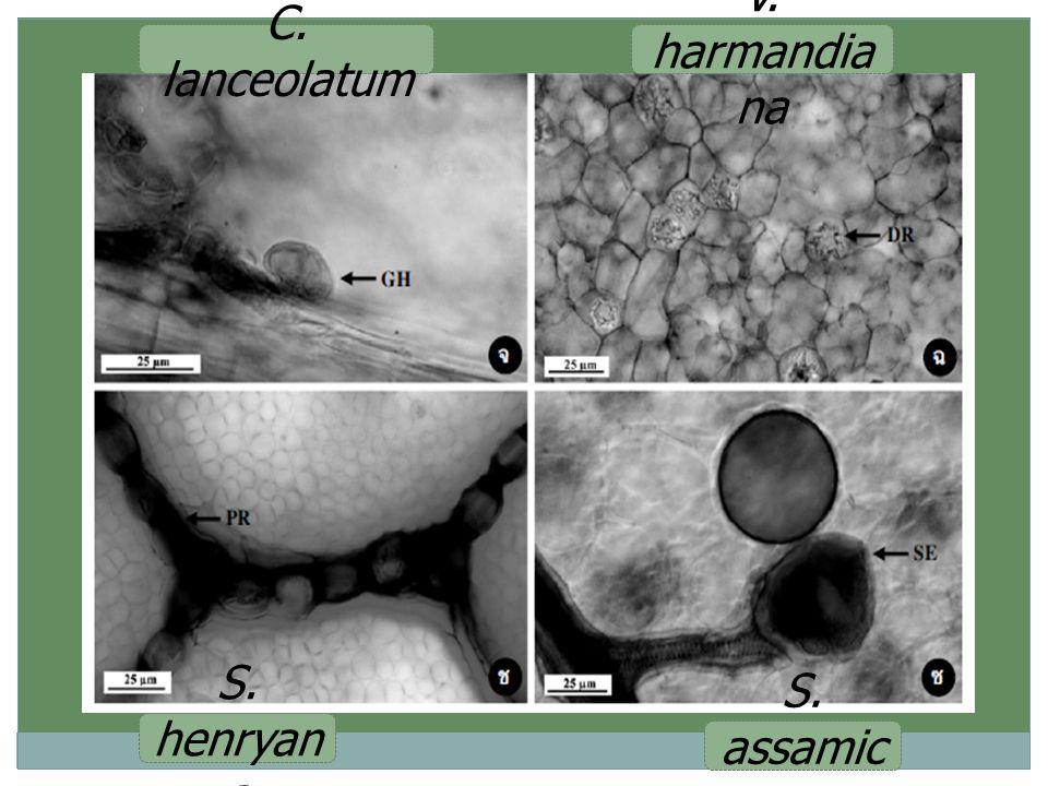 V. harmandia na S. assamic a C. lanceolatum S. henryan a