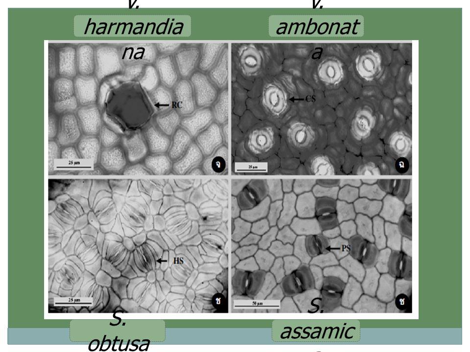 S. assamic a S. obtusa V. harmandia na V. ambonat a