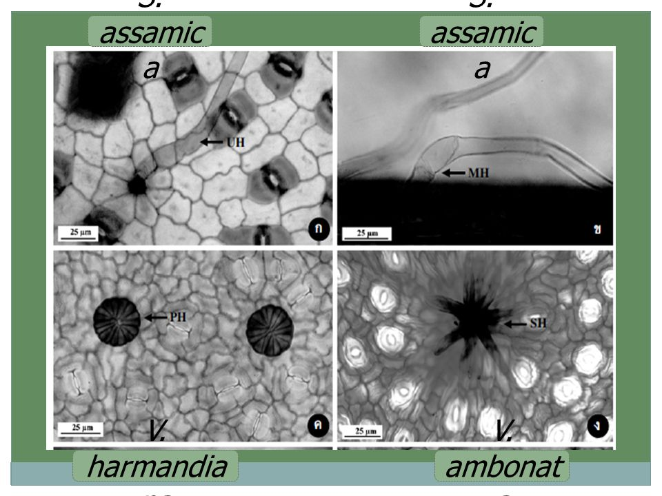 S. assamic a V. harmandia na V. ambonat a