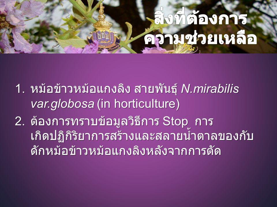 1.หม้อข้าวหม้อแกงลิง สายพันธุ์ N.mirabilis var.globosa (in horticulture) 2.