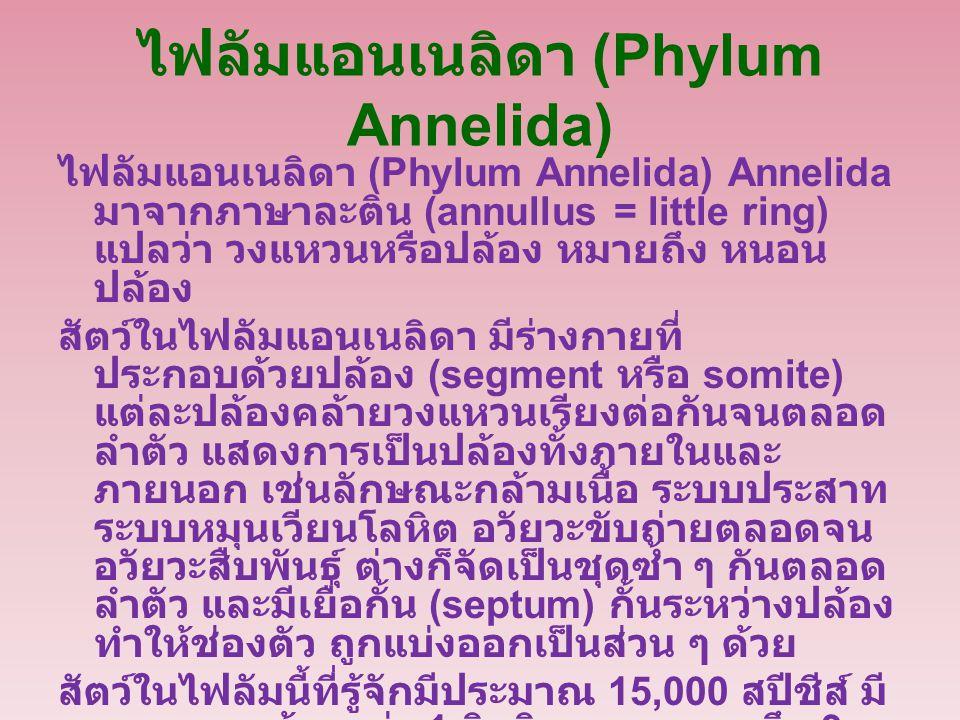 ไฟลัมแอนเนลิดา (Phylum Annelida) ไฟลัมแอนเนลิดา (Phylum Annelida) Annelida มาจากภาษาละติน (annullus = little ring) แปลว่า วงแหวนหรือปล้อง หมายถึง หนอน ปล้อง สัตว์ในไฟลัมแอนเนลิดา มีร่างกายที่ ประกอบด้วยปล้อง (segment หรือ somite) แต่ละปล้องคล้ายวงแหวนเรียงต่อกันจนตลอด ลำตัว แสดงการเป็นปล้องทั้งภายในและ ภายนอก เช่นลักษณะกล้ามเนื้อ ระบบประสาท ระบบหมุนเวียนโลหิต อวัยวะขับถ่ายตลอดจน อวัยวะสืบพันธุ์ ต่างก็จัดเป็นชุดซ้ำ ๆ กันตลอด ลำตัว และมีเยื่อกั้น (septum) กั้นระหว่างปล้อง ทำให้ช่องตัว ถูกแบ่งออกเป็นส่วน ๆ ด้วย สัตว์ในไฟลัมนี้ที่รู้จักมีประมาณ 15,000 สปีชีส์ มี ขนาดยาวน้อยกว่า 1 มิลลิเมตร จนยาวถึง 3 เมตร พบอยู่ทั้งในน้ำเค็ม น้ำจืด และที่ชื้นแฉะ