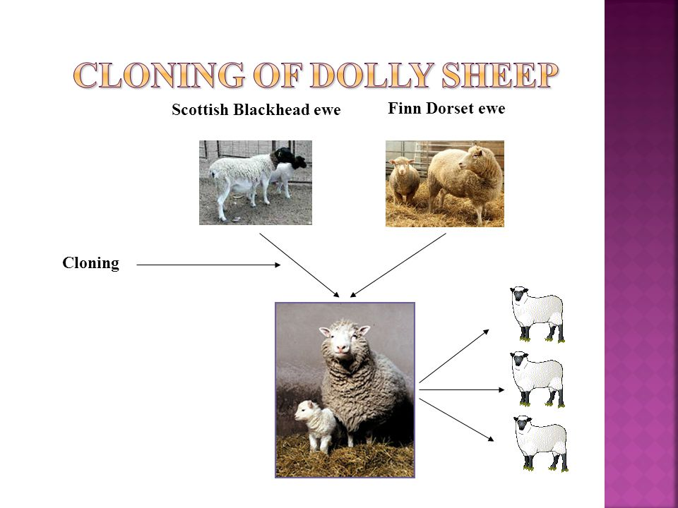 Scottish Blackhead ewe Finn Dorset ewe Cloning