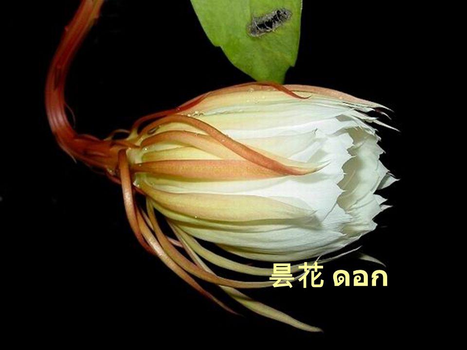 昙花 ดอก