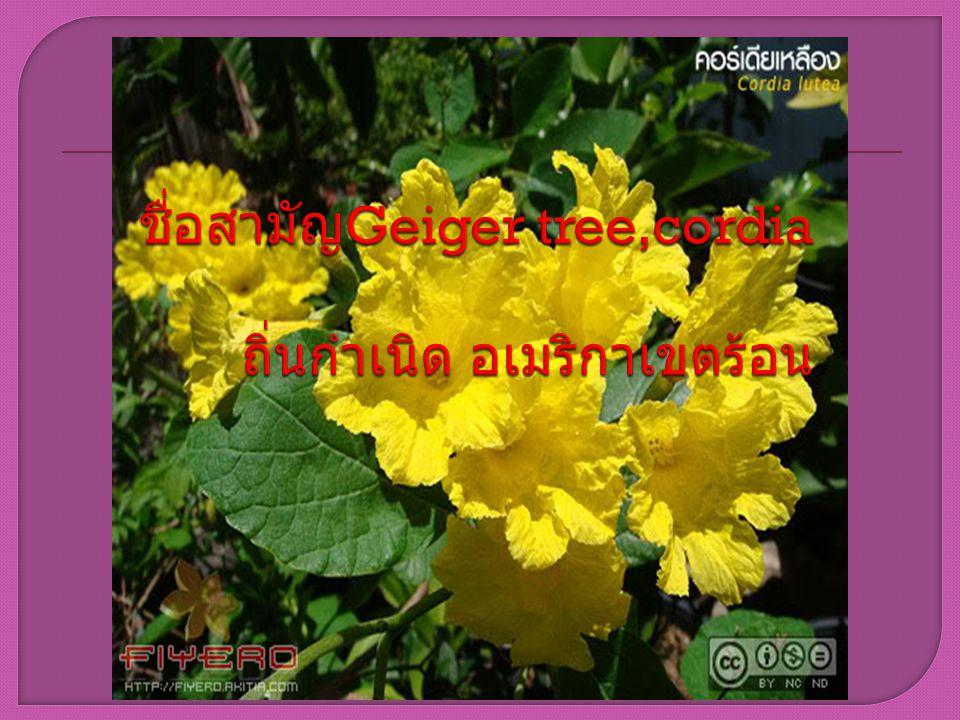 ยอด แต่ ละช่อประกอบด้วยดอกย่อยจำนวนมาก กลีบเลี้ยงเป็นเป็นรูปกรวยยาว ปลายจักเป็น 3 - 4 ซี่ กลีบดอก เป็นรูปปากแตร ปลายแยกเป็นกลีบดอก 5 - 7 กลีบ ขอบกลีบย้วย ผิวกลีบย่นจากโคนกลีบขึ้น ไปเกือบ ถึงปลายกลีบดอก ดอกบานเต็มที่ เส้นผ่าศูนย์กลางประมาณ 2.5 - 5 ซม.