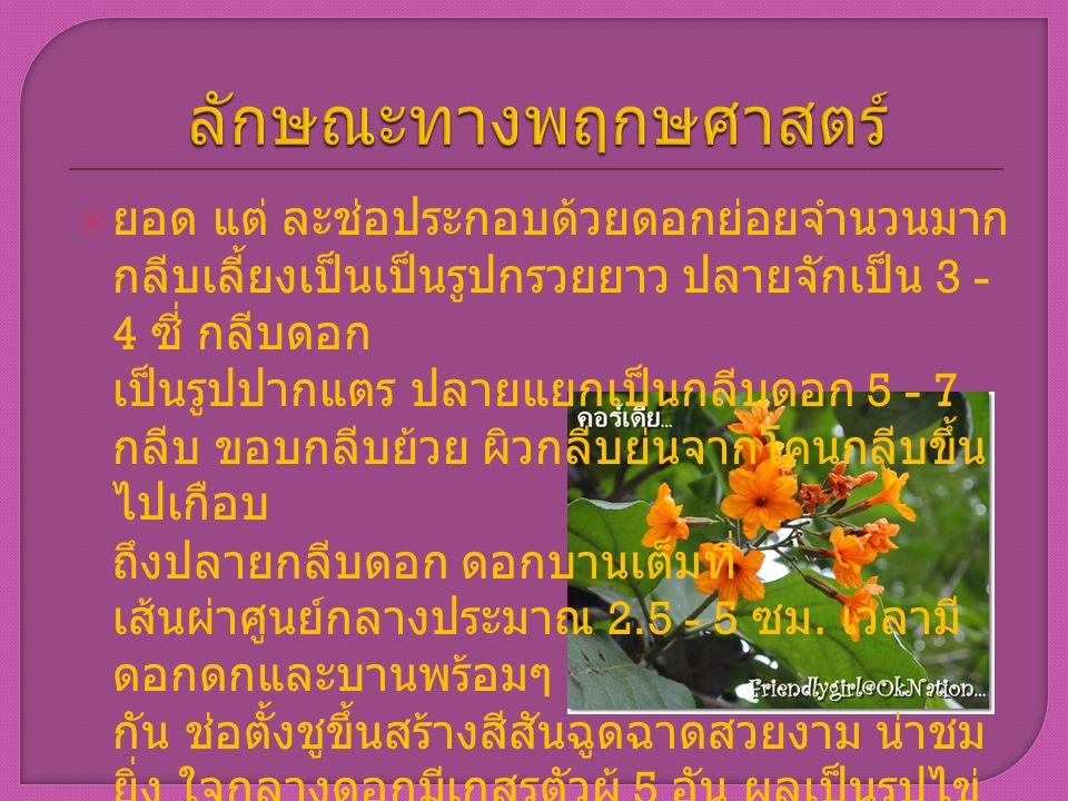  ยอด แต่ ละช่อประกอบด้วยดอกย่อยจำนวนมาก กลีบเลี้ยงเป็นเป็นรูปกรวยยาว ปลายจักเป็น 3 - 4 ซี่ กลีบดอก เป็นรูปปากแตร ปลายแยกเป็นกลีบดอก 5 - 7 กลีบ ขอบกลี