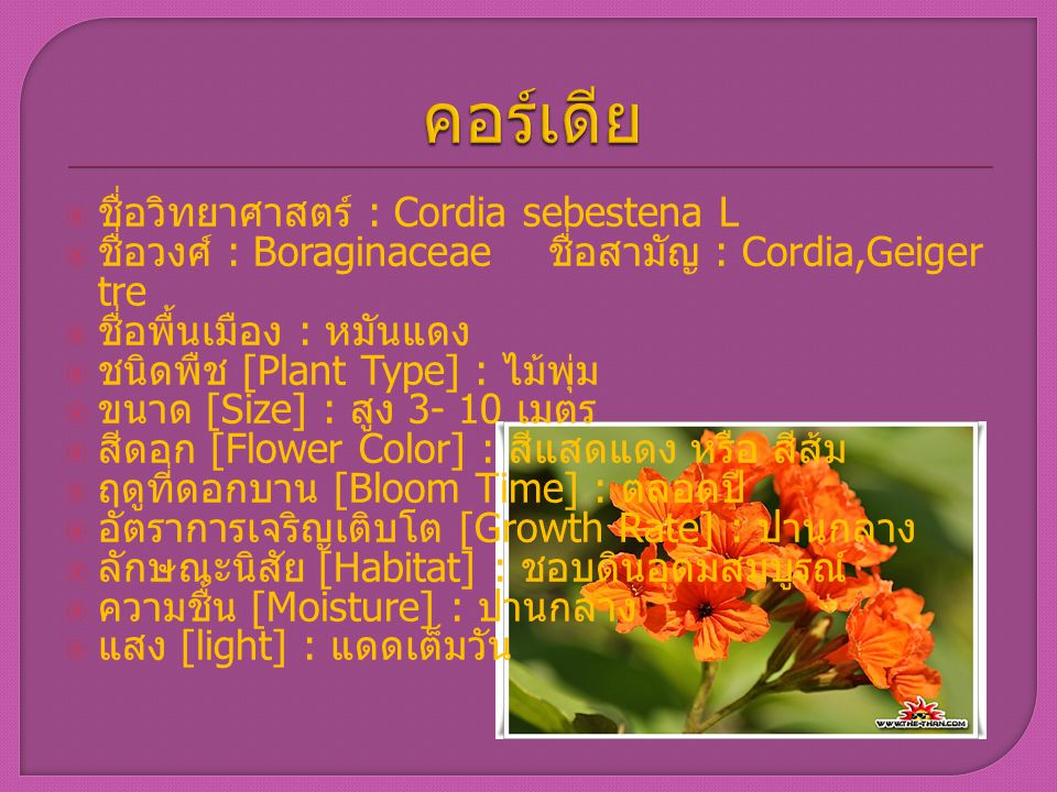  ชื่อวิทยาศาสตร์ : Cordia sebestena L  ชื่อวงศ์ : Boraginaceae ชื่อสามัญ : Cordia,Geiger tre  ชื่อพื้นเมือง : หมันแดง  ชนิดพืช [Plant Type] : ไม้พ