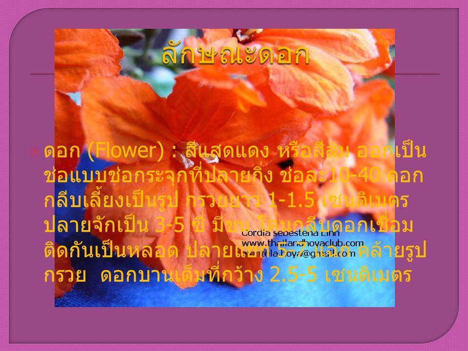  ดอก (Flower) : สีแสดแดง หรือสีส้ม ออกเป็น ช่อแบบช่อกระจุกที่ปลายกิ่ง ช่อละ 10-40 ดอก กลีบเลี้ยงเป็นรูป กรวยยาว 1-1.5 เซนติเมตร ปลายจักเป็น 3-5 ซี่ ม