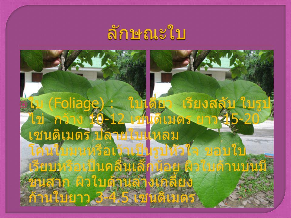 ใบ (Foliage) : ใบเดี่ยว เรียงสลับ ใบรูป ไข่ กว้าง 10-12 เซนติเมตร ยาว 15-20 เซนติเมตร ปลายใบแหลม โคนใบมนหรือเว้าเป็นรูปหัวใจ ขอบใบ เรียบหรือเป็นคลื่