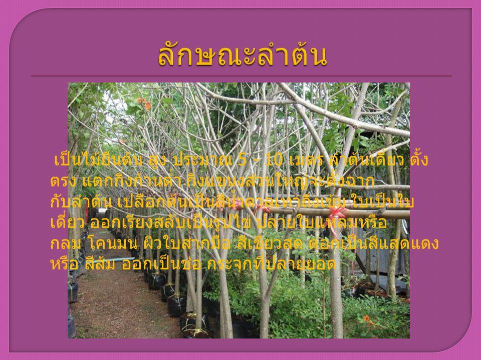 เป็นไม้ยืนต้น สูง ประมาณ 5 - 10 เมตร ลำต้นเดี่ยว ตั้ง ตรง แตกกิ่งก้านต่ำ กิ่งแขนงส่วนใหญ่จะตั้งฉาก กับลำต้น เปลือกต้นเป็นสีน้ำตาลเทาถึงเข้ม ใบเป็นใบ เ