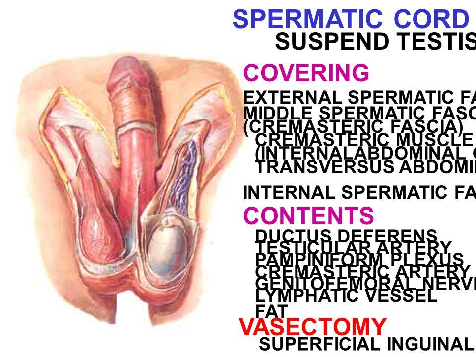 SPERMATIC CORD SUSPEND TESTIS COVERING EXTERNAL SPERMATIC FASCIA MIDDLE SPERMATIC FASCIA (CREMASTERIC FASCIA) CREMASTERIC MUSCLE (INTERNALABDOMINAL OBLIQUE + TRANSVERSUS ABDOMINIS) INTERNAL SPERMATIC FASCIA CONTENTS DUCTUS DEFERENS TESTICULAR ARTERY PAMPINIFORM PLEXUS GENITOFEMORAL NERVE CREMASTERIC ARTERY LYMPHATIC VESSEL FAT VASECTOMY SUPERFICIAL INGUINAL RING