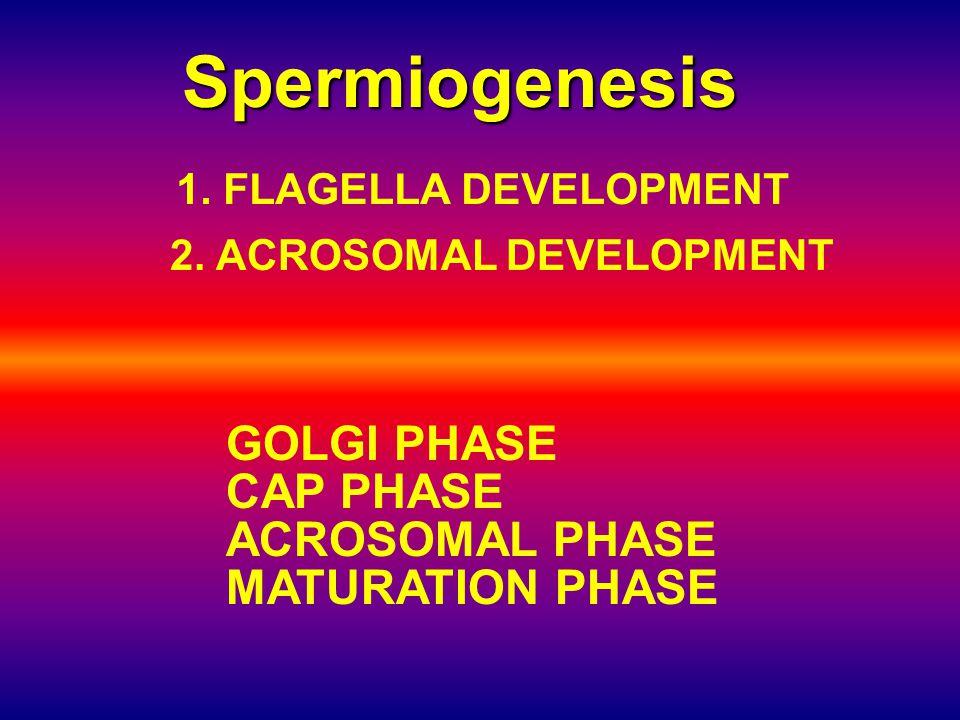 Spermiogenesis 1.FLAGELLA DEVELOPMENT 2.