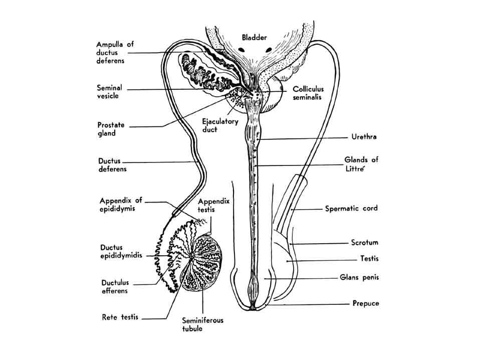 TRANSVERSE SECTION OF THE PENIS SKIN SUPERFICIAL(DARTOS) FASCIA DEEP(BUCK'S) FASCIA TUNICA ALBUGINEA ERECTILE TISSUE CORPORA CAVERNOSA CORPUS SPONGIOSUM PENILE URETHRA