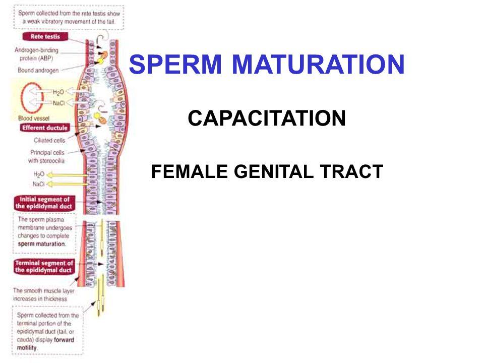 SPERM MATURATION CAPACITATION FEMALE GENITAL TRACT