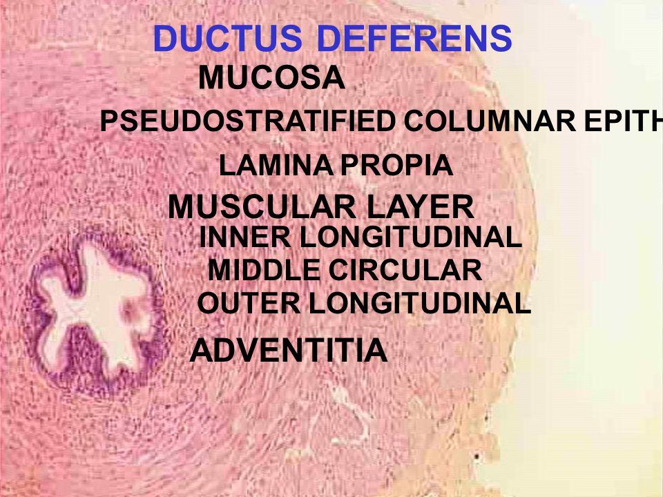 DUCTUS DEFERENS MUCOSA PSEUDOSTRATIFIED COLUMNAR EPITHELIUM LAMINA PROPIA MUSCULAR LAYER INNER LONGITUDINAL MIDDLE CIRCULAR OUTER LONGITUDINAL ADVENTITIA