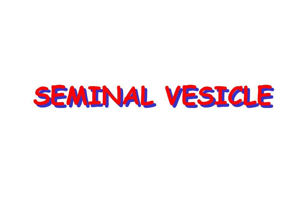 SEMINAL VESICLE