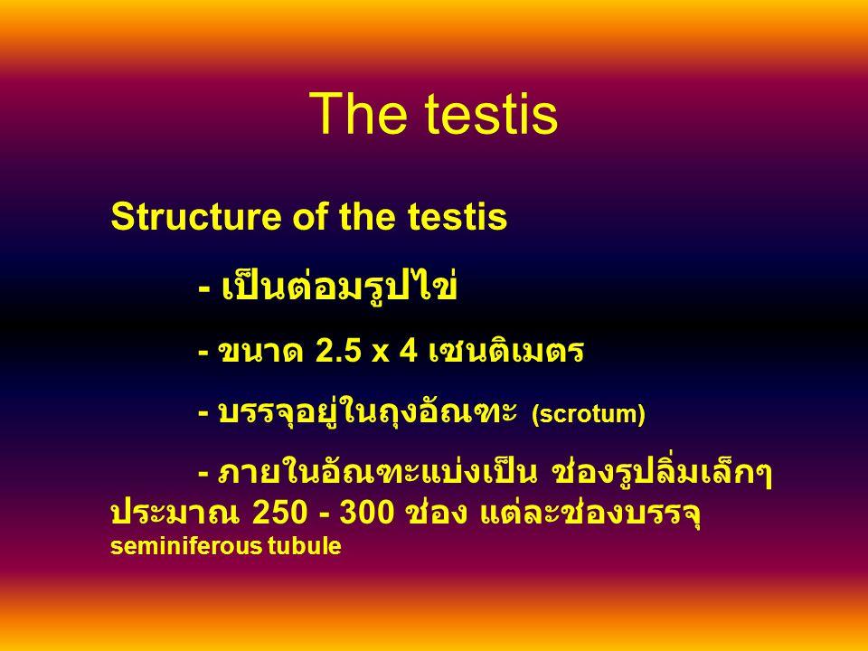 The testis Structure of the testis - เป็นต่อมรูปไข่ - ขนาด 2.5 x 4 เซนติเมตร - บรรจุอยู่ในถุงอัณฑะ (scrotum) - ภายในอัณฑะแบ่งเป็น ช่องรูปลิ่มเล็กๆ ประมาณ 250 - 300 ช่อง แต่ละช่องบรรจุ seminiferous tubule