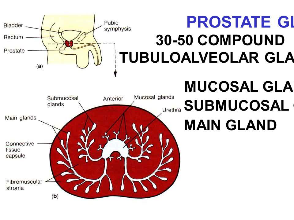 30-50 COMPOUND TUBULOALVEOLAR GLANDS MUCOSAL GLAND SUBMUCOSAL GLAND MAIN GLAND