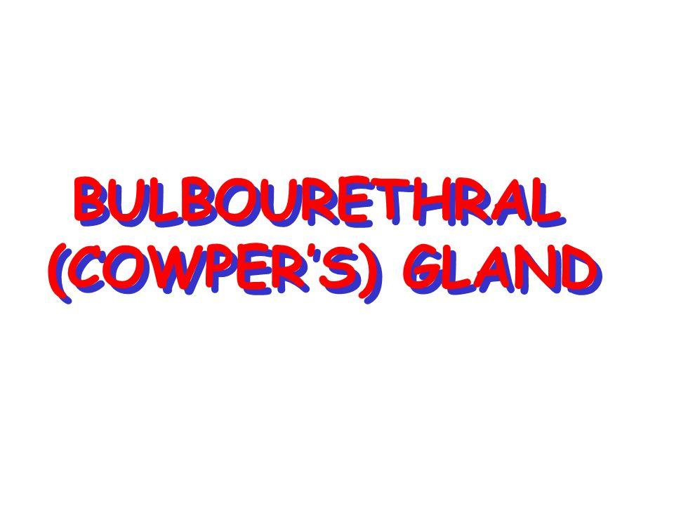 BULBOURETHRAL (COWPER'S) GLAND BULBOURETHRAL (COWPER'S) GLAND