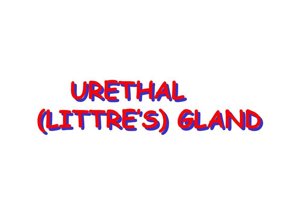 URETHAL (LITTRE'S) GLAND URETHAL (LITTRE'S) GLAND