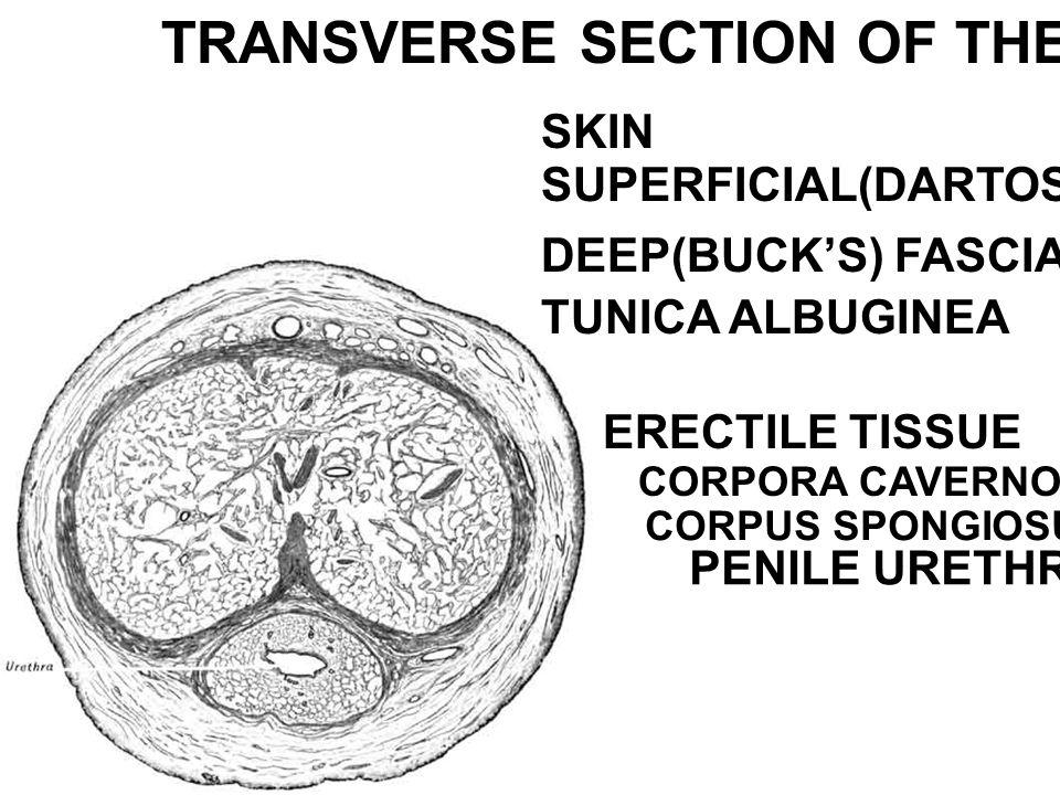 TRANSVERSE SECTION OF THE PENIS SKIN SUPERFICIAL(DARTOS) FASCIA DEEP(BUCK'S) FASCIA TUNICA ALBUGINEA ERECTILE TISSUE CORPORA CAVERNOSA CORPUS SPONGIOS